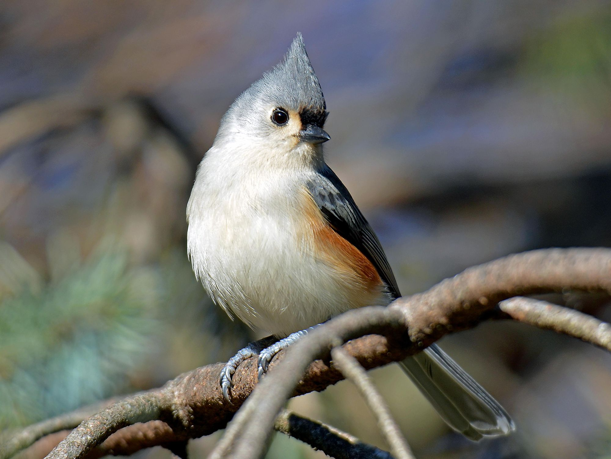 Tufted Titmouse in an Evergreen