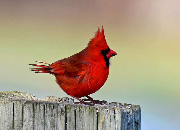 Cardinal on a Fencepost