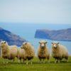プードルを羊カットにしてみた!(トリミング)